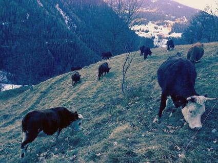 Les vaches tarines dans les alpages sous les Vernettes